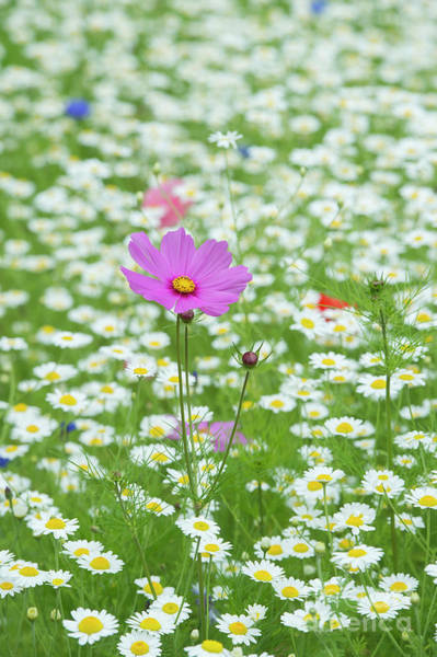 Aster Photograph - Cosmos And Chamomile by Tim Gainey