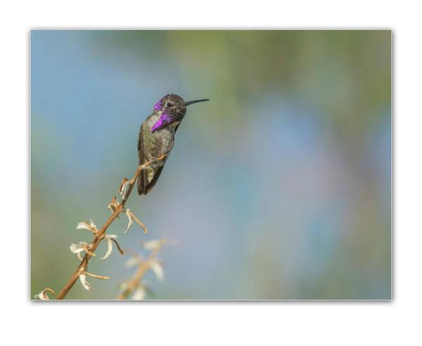 Photograph - Costa's Hummingbird 1828 by Tam Ryan