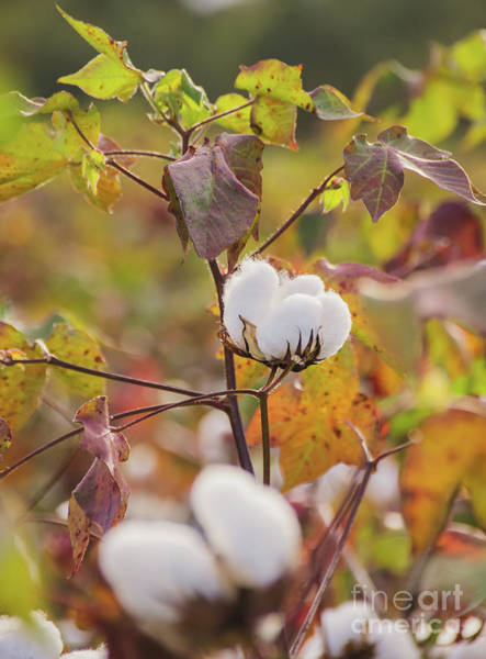 Photograph - Cotton Flower 4 by Andrea Anderegg