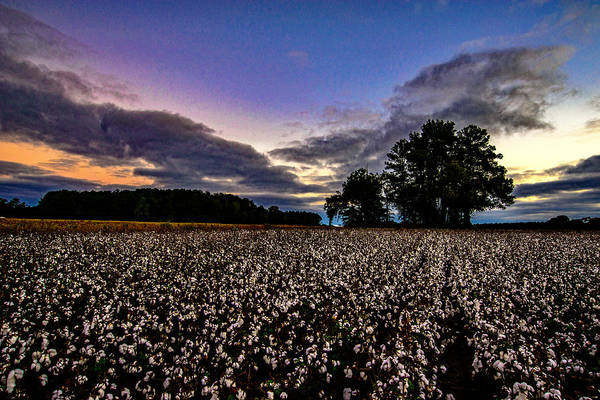 Photograph - Cotton Patch  by John Harding