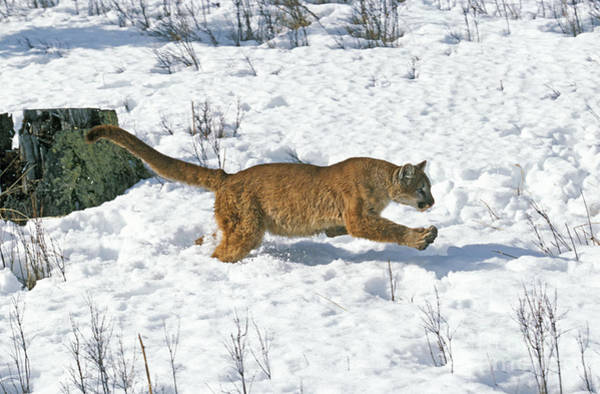 Lion In Winter Photograph - Cougar Puma Concolor by Gerard Lacz