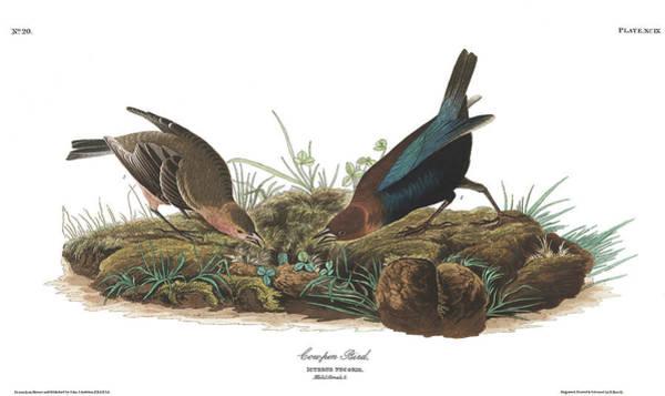 Pen Painting - Cow-pen Bird by John James Audubon