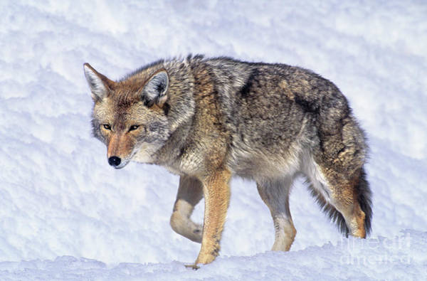 Photograph - Coyote Canis Latrans Wild California by Dave Welling