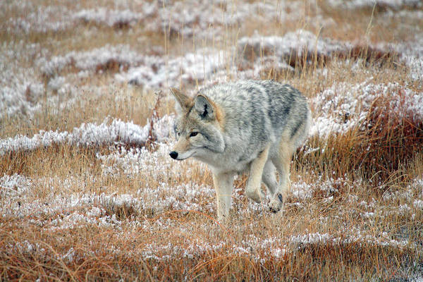 Photograph - Coyote  In Yellowstone National Park by Pierre Leclerc Photography