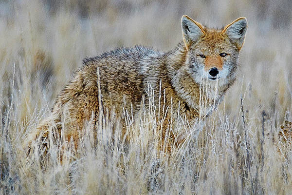 Photograph - Coyote by Norman Hall
