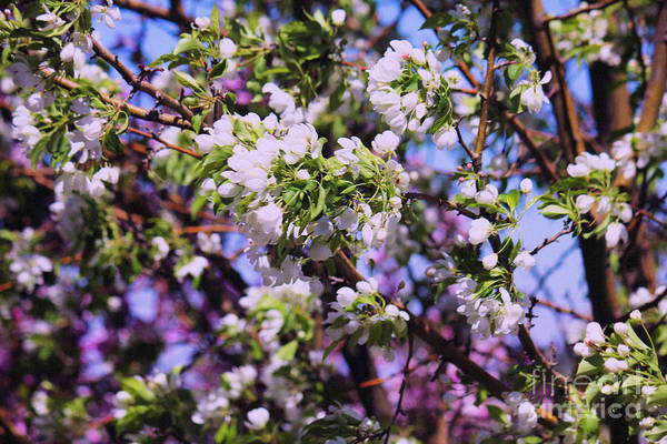 Photograph - Crabapple Blossom by Donna L Munro