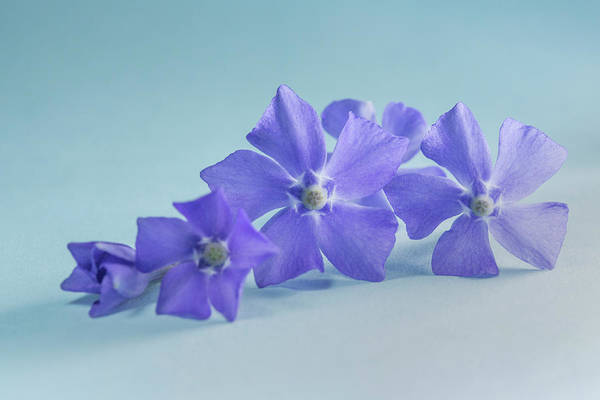 Wall Art - Photograph - Creeping Periwinkle Myrtle by Iris Richardson