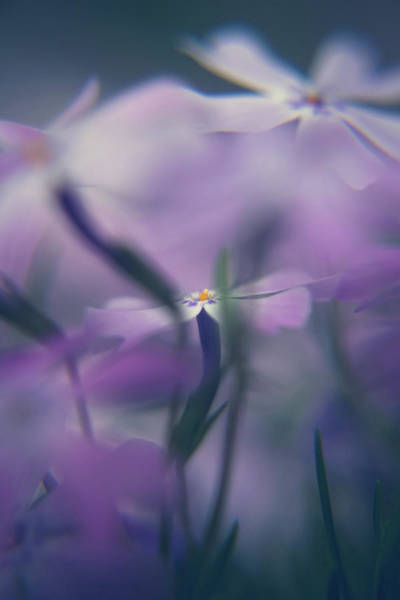 Photograph - Creeping Phlox by Jeanette Fellows