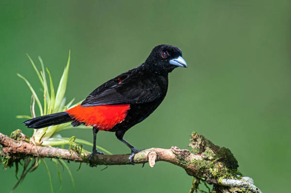 Back In The Day Photograph - Crimson-backed Tanager Ramphocelus by Panoramic Images