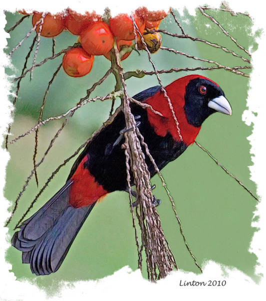 Belize Digital Art - Crimson-collared Tanager 2 by Larry Linton