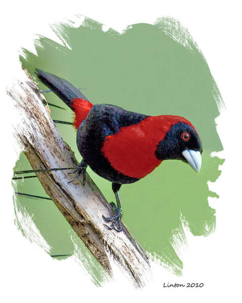 Belize Digital Art - Crimson-collared Tanager by Larry Linton