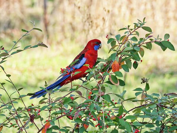 Photograph - Crimson Rosella 2 - Canberra - Australia by Steven Ralser