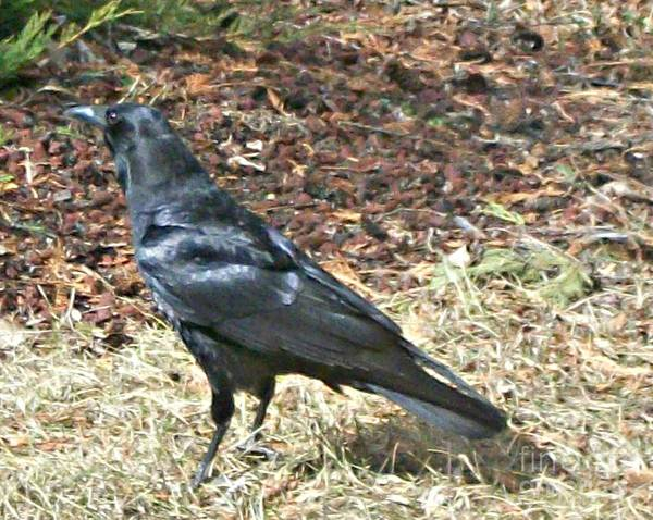Photograph - Crow by 'REA' Gallery