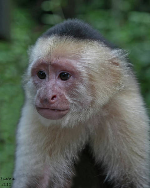 Photograph - Curious Capuchin by Larry Linton