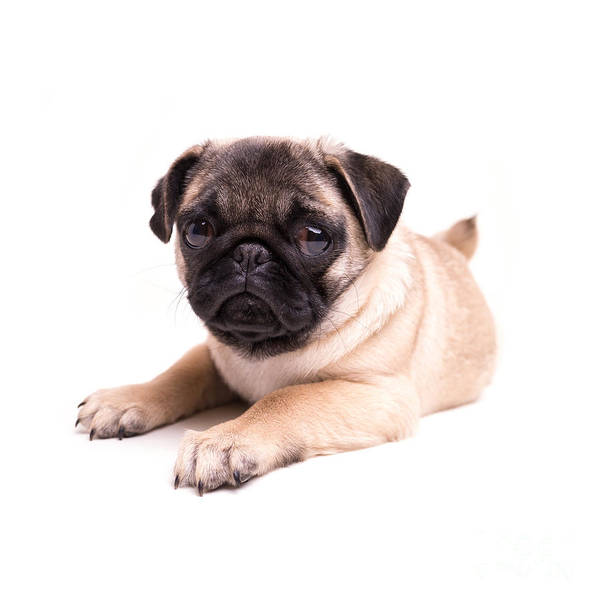 Photograph - Cute Pug Puppy by Edward Fielding