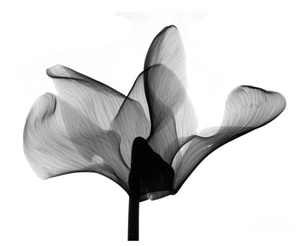 Photograph - Cyclamen Flower X-ray by Bert Myers