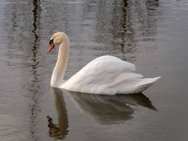 Photograph - Cygne by Marc Philippe Joly