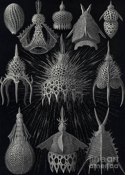 Black And White Nature Drawing - Cyrtoidea by Ernst Haeckel