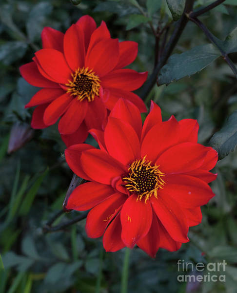 Photograph - Dahlia 'bishop Of Llandaff' by Ann Jacobson
