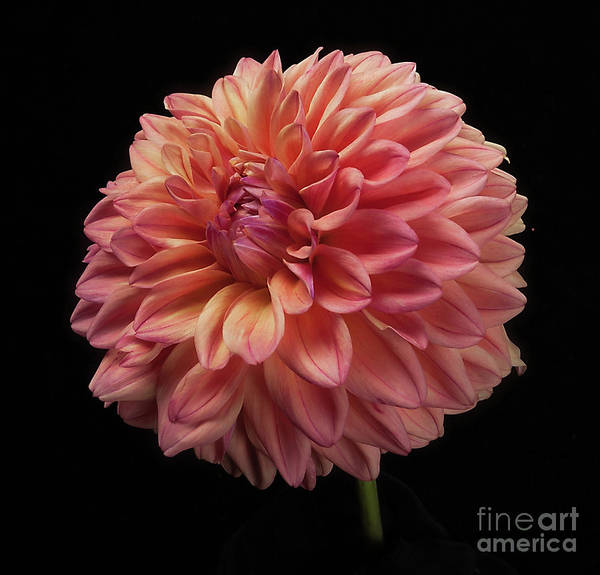 Photograph - Dahlia 'ferncliff Copper' by Ann Jacobson