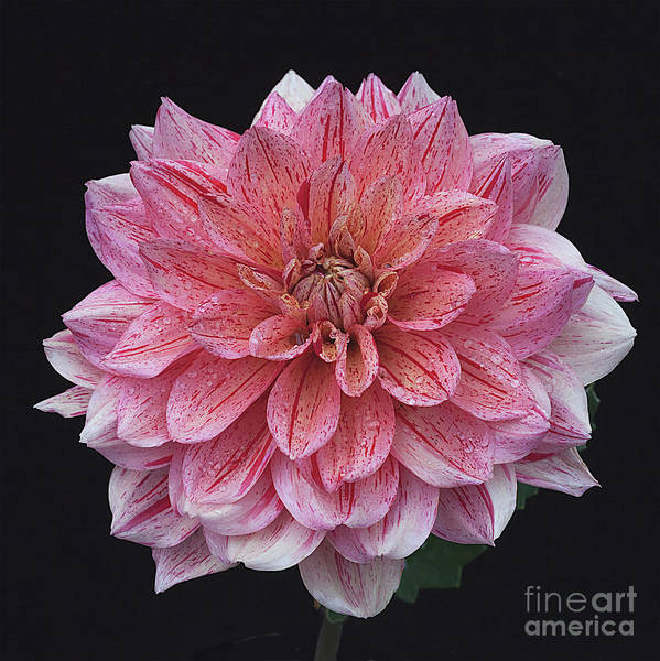 Photograph - Dahlia 'nonette' by Ann Jacobson