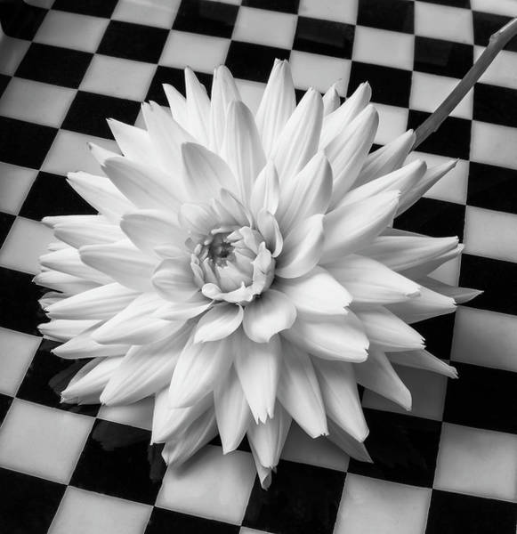 Checker Photograph - Dahlia On Checker Background by Garry Gay