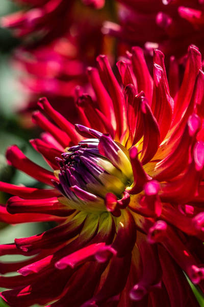 Photograph - Dahlia by Randy Bayne