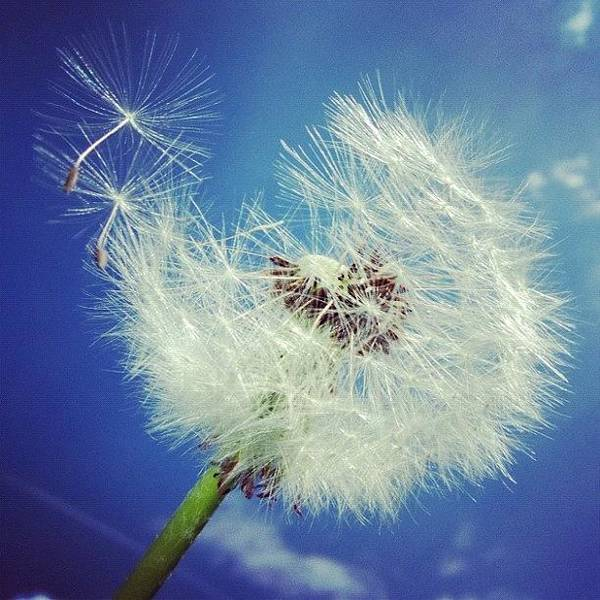 Detail Photograph - Dandelion And Blue Sky by Matthias Hauser