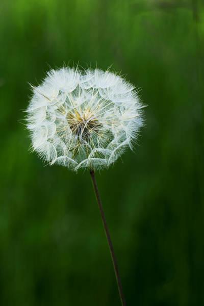 Photograph - Dandelion by Ivan Slosar