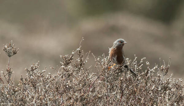 Photograph - Dartford Warbler by Wendy Cooper