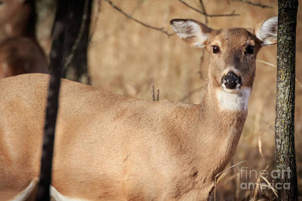Photograph - Deer Alert by Richard Smith