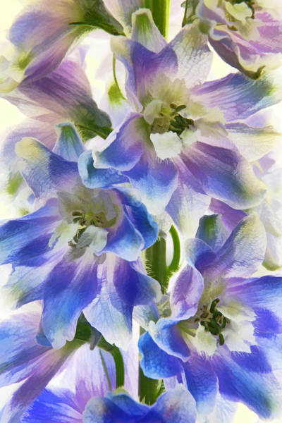 Photograph - Delphinium Finery Painted by Leda Robertson