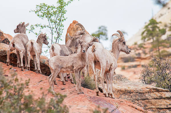 Wall Art - Photograph - Desert Bighorn Family In Southern Utah by Rich Leighton