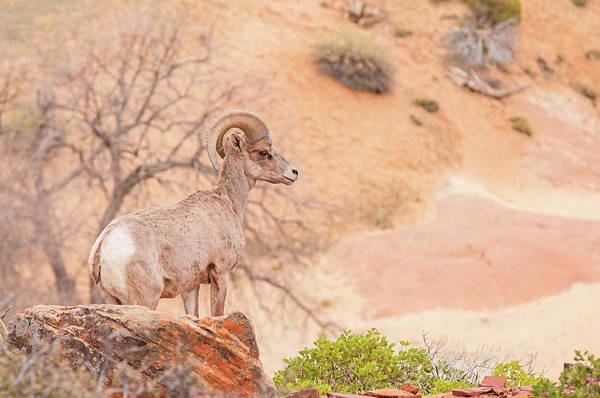 Wall Art - Photograph - Desert Bighorn Ram by Rich Leighton