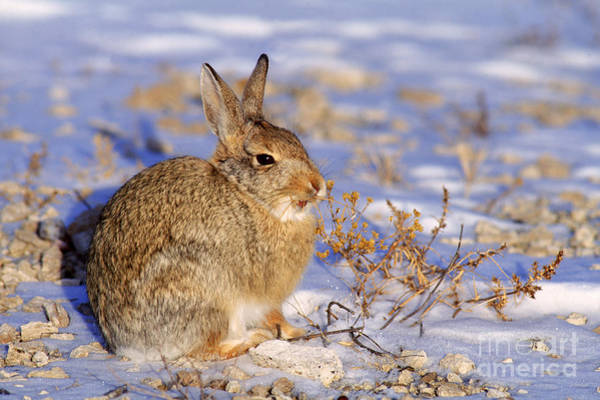 Photograph - Desert Cottontail by Rod Planck