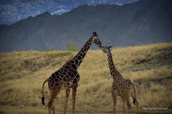 Photograph - Desert Palm Giraffe 001 by Guy Hoffman