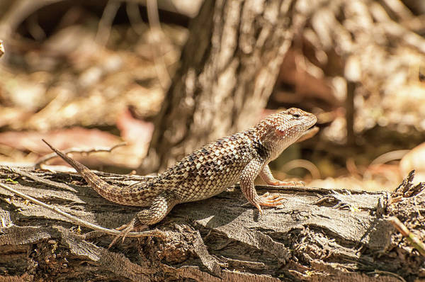 Wall Art - Photograph - Desert Spiny Lizard by Rich Leighton