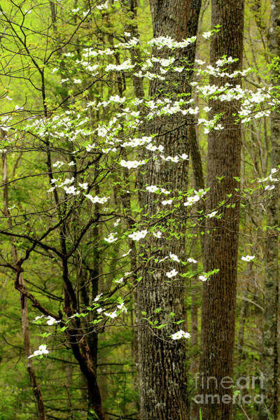 Photograph - Dogwood Blooming In Forest by Thomas R Fletcher