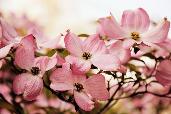 Dogwoods Photograph - Dogwood Delight by Jessica Jenney