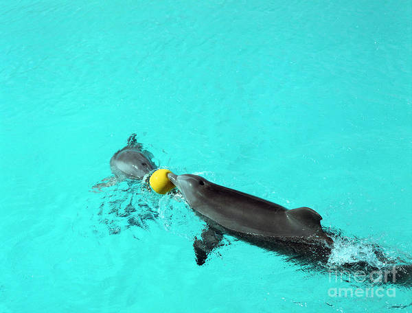 Photograph - Dolphins Playing In Pool by John Bowers