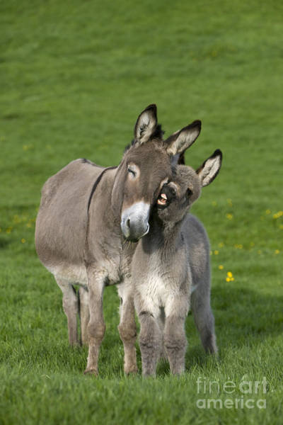 Equus Africanus Photograph - Donkey Mother And Young by Jean-Louis Klein and Marie-Luce Hubert