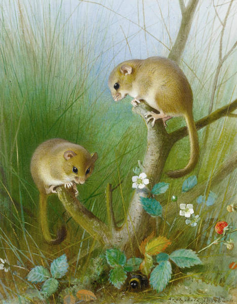 Painting - Dormice by Archibald Thorburn