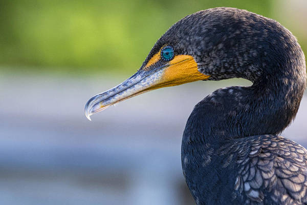 Double Crested Cormorant Photograph - Double-crested Cormorant by Saija  Lehtonen