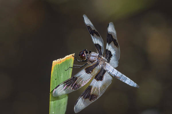 Photograph - Dragonfly  by Rick Mosher