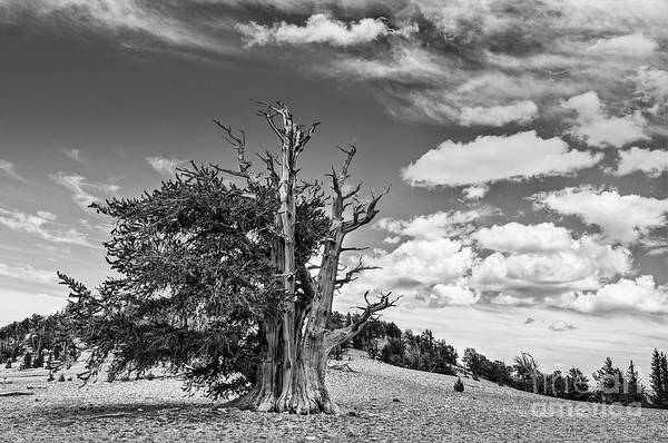 Pine Grove Photograph - Dramatic View Of The Ancient Bristlecone Pine Forest. by Jamie Pham