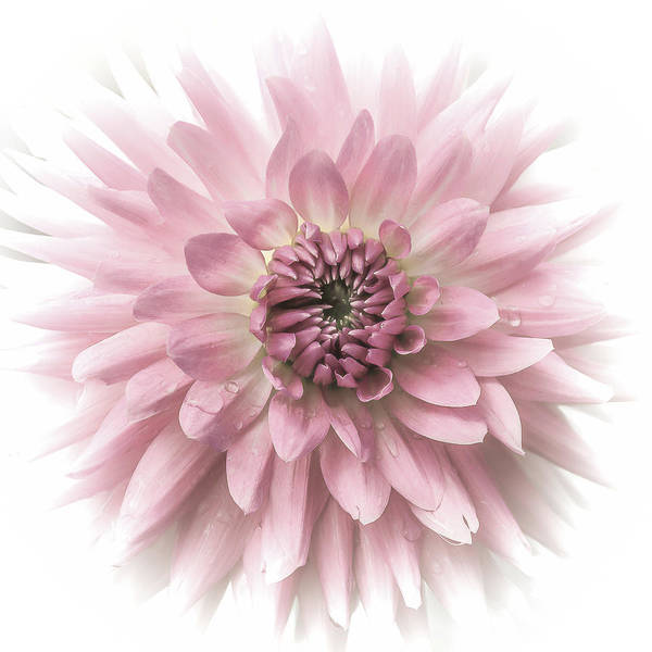 Photograph - Dreamy Dahlia by Julie Palencia