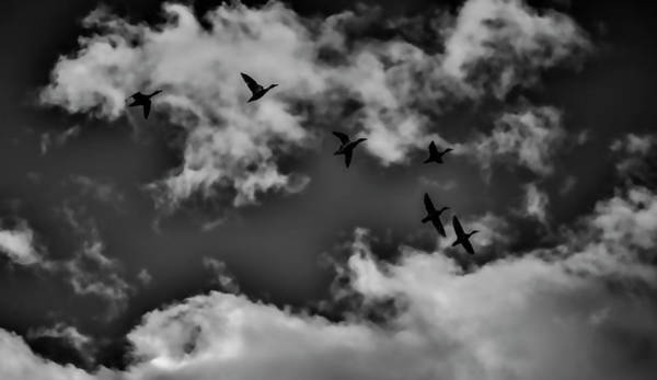 Photograph - Duck Silhouettes Bw #g1 by Leif Sohlman