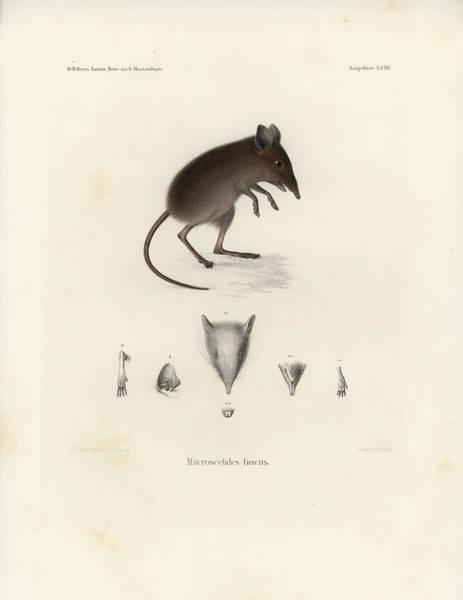 Drawing - Dusky Elephant Shrew, Elephantulus Fuscus by J D L Franz Wagner