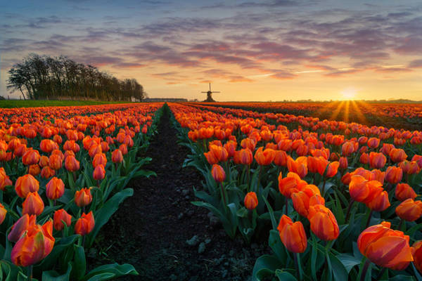 Dutch Tulip Photograph - Dutch Classic by Martin Podt