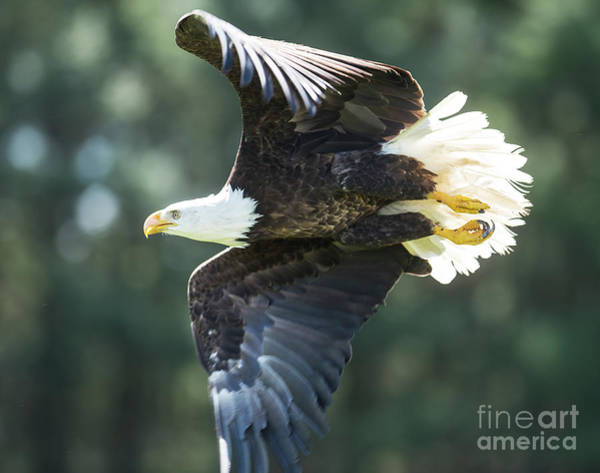 Photograph - Eagle Flying 3005 by Steve Somerville